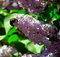 lilac and bee spring 2007