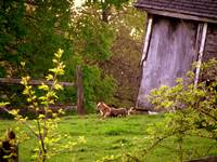 Mama fox and babies2 spring 08