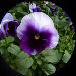 """Deep Purple Pansy"" by TheMears"