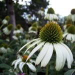 """Green Coneflower"" by aswendener"