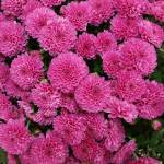 """""""Explosion of Pink"""" by TheMears"""