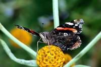 The Red Admiral 2