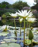 White Flowers and Lilypads