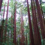 """Redwoods"" by jmaspaitella"