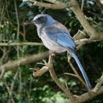 """Florida Scrub Jay"" by DMHImages"