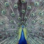 """A Peacock Displays It"
