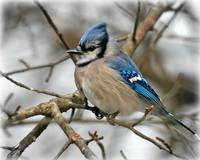 blue jay meditations