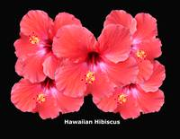 Blooming Red Hibiscus Flower