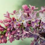 """Lilacs"" by homespunphotography"