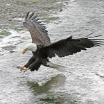 """Bald Eagle at Seabeck"" by reynolds"