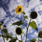 """""""sunflowers on clouds"""" by coxy"""