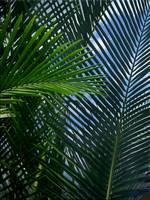 Sago Palm Fronds