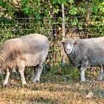 """Grazing Sheep"" by BeautifullyScene"