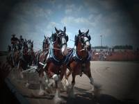 Clydesdale 6 Team Hitch