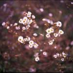 """091015_1_09 Tiny Popcorn Flowers"" by coleman_rogers"