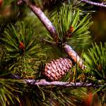 """Pine cone in autumn"" by DuffyPhoto"