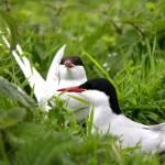 """Pair of Arctic Terns"" by jammyjimbob"