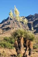 yucca in the desert mountains