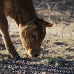 """baby calf grazeing"" by Jewelymosier"