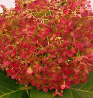 drying hydrangea bloom in oranges and reds