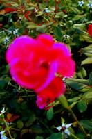 hot pink wild rose bloom