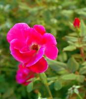 small wild rose bloom hot pink