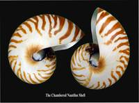 The Famed Chambered Nautilus Shell
