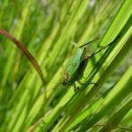 """""""grass hopper"""" by MRLance"""