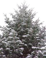 Snowy Evergreen