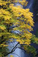 Multnomah Maple