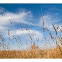 Indian Grass & Blue Sky Art Prints & Posters by Franklin Thompson