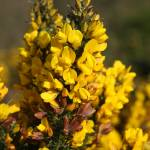"""Gorse Flower"" by jammyjimbob"