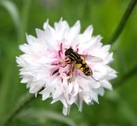 Hoverfly on a Cornflower