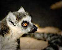 Mr. Lemur