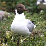 """Black-headed Gull"" by jammyjimbob"