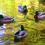"""Four Ducks on Pond"" by AmyVangsgard"