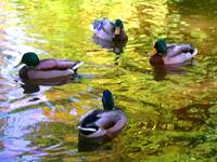 Four Ducks on Pond