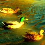 """Three Ducks Swimming"" by AmyVangsgard"