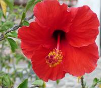 The Hibiscus