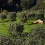 """Montisi Olive Grove"" by ErinKanoa"