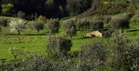 Montisi Olive Grove