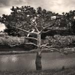 """pine tree by water"" by fjsjr"