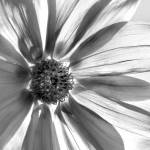 """Gossamer Petals"" by MarionCullen"