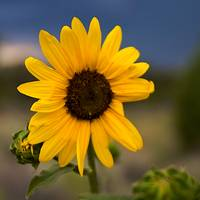 Sunflower in New Mexico