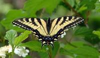 Tiger Swallowtail Butterfly, sunning