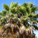 """Silicon Valley Palm Tree Tops"" by Artsart"