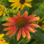 """Cone Flower Surrounded by Black-eyed Susans"" by tricia"