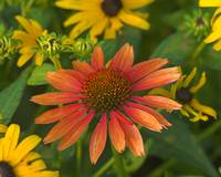 Cone Flower Surrounded by Black-eyed Susans