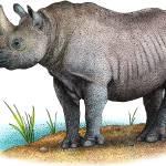 """Black Rhinoceros"" by inkart"