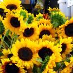 """""""Sun Flowers at the Farmer"""